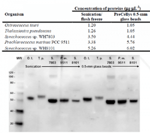 Comparison of ribulose-1,5-bisphosphate carboxylase oxygenase (RbcL) immunodetection from phytoplankton after protein extraction through sonication or Precellys bead beating. RbcL was detected by immunoblotting using a chicken anti-RbcL primary antibody and a horseradish peroxidase-conjugated goat anti-chicken secondary antibody. MW, molecular weight protein ladder (in kDa).