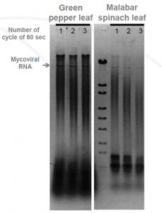 Agarose gel electrophoresis of 5 mg extracted plant.