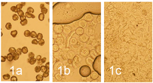 Microscopic observation (X40). Whole Cupressus pollen grain before grinding, dry observation (1a). Cupressus pollen grain after 1x30s dry grinding, observation in water (1b). Cupressus pollen grain after 3x30s dry grinding, observation in water (1c).