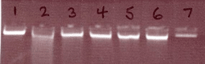 Agarose gel image of DNA extracted by Precellys 24 / EZ1 extraction. Samples showed no or minimal DNA degradation.