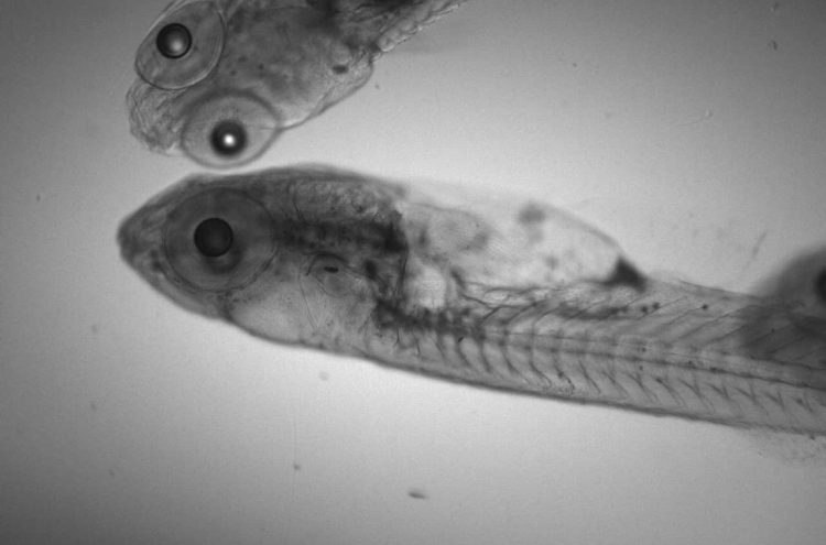 Zebrafish (Transmitted Light), 4X Obj. -#UPFLN 4x